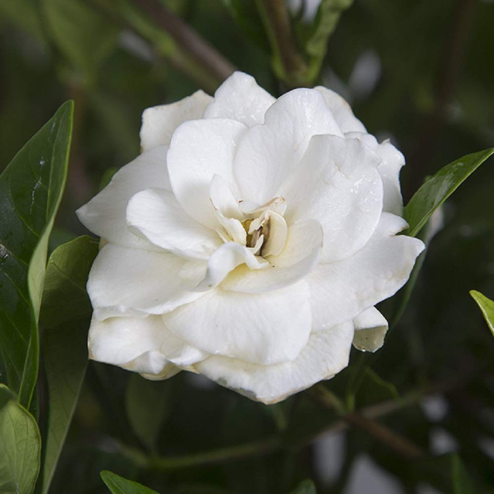2.4 Gallon(#3) - August Beauty Gardenia - White Fragrant Blooms - Evergreen Shrub by Plants by Mail