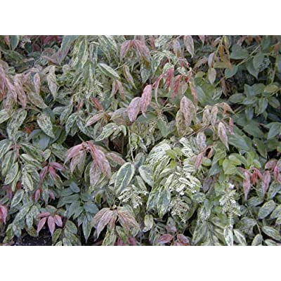 AchmadAnam - Live Plant - Girard's Rainbow Leucothoe - Shipped 1 to 2 Feet Tall : Garden & Outdoor