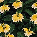 Outsidepride Crossandra Yellow Splash - 15 Seeds