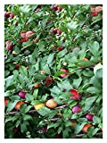 Santa Rosa Plum (Prunus Salicina)-1 1/2 Yr Old Healthy Bare Root Fruit Tree-1 Each