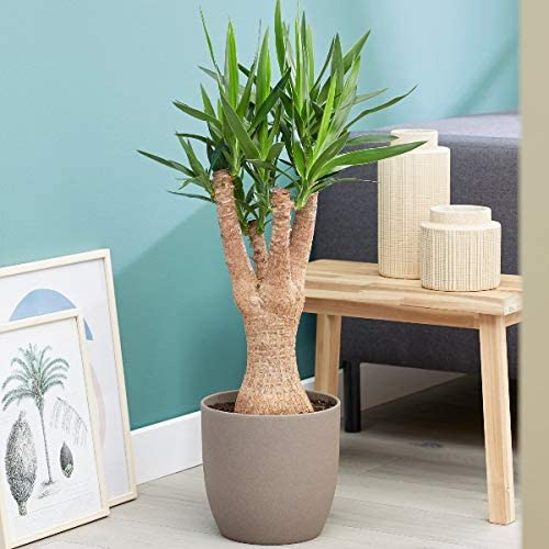 Plant Theory Spineless Yucca 110cm Indoor House Plant 33cm Pot