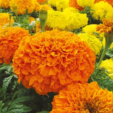 Seedscare Marigold F2 Hybrid, Dwarf Plant Big Flower Seeds (Pack...