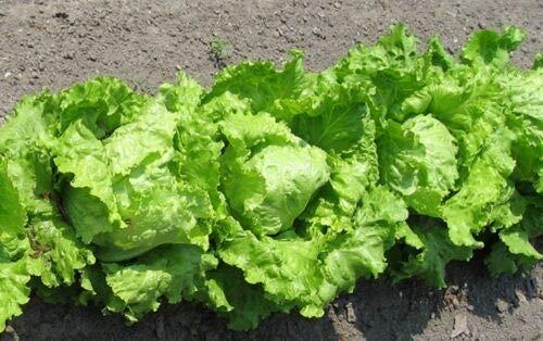 Lettuce, Iceberg Heading Heirloom - Fresh & Hand-Packaged 480 Seeds