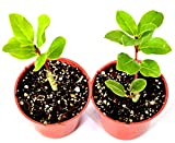 "9GreenBox -2 Set Bay Laurel Herb - 4"" Pot Total 2"
