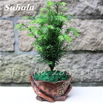9 30 Pcs Coast Redwood Seeds Sequoia Sempervirens Bonsai Tree Potted Plants For Home Garden Fresh The Air Diy Home Garden 9 Buy Online At Best Price In Uae Amazon Ae