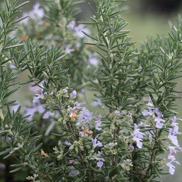 Creeping Rosemary Plant - Size: 1 Gallon (Rosmarinus officinalis 'Prostratus') - Live Herb Plant