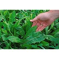 250 CHICORIA CATALOGNA Cicoria Puntarelle Chicorium Chicory Vegetable Seeds *Flat Shipping