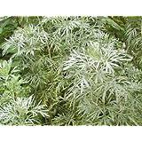 Wormwood (Artemisia absinthium) 250 Seeds