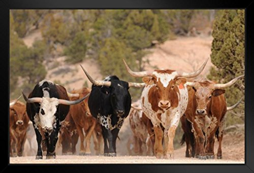 Herd of Texas Longhorn Cattle in Southern Utah Mountains Photo Art Print Framed Poster 20x14 inch