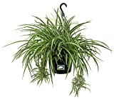 "Dutch Country Classics Live Spider Plant - 10"" Hanging Basket"