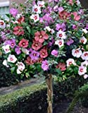 aristata 4 Have 1-2 Foot Long Rooted Mixed Rose of Sharon Trees 2 Year Old