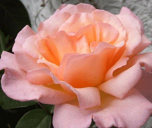 Rosa Climbing Rose Compassion Plant