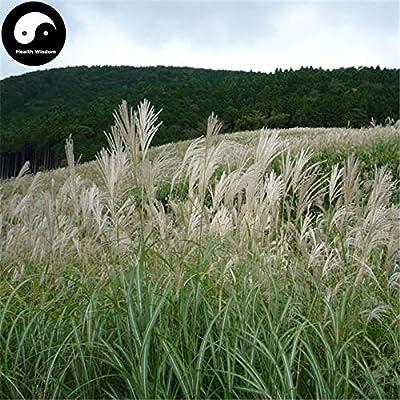 Buy Miscanthus Sinensis Semente 400pcs Plant Grass Miscanthus Mang Cao : Garden & Outdoor