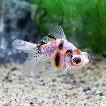 Amazon | (国産金魚)出目金(...