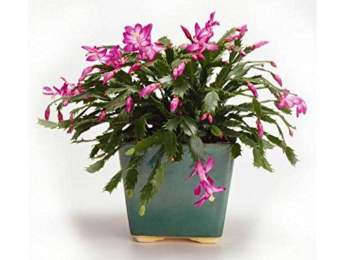 Live Rare Red Christmas Cactus Plant Zygocactus Indoor House Starter Plant (Christmas Plant The)