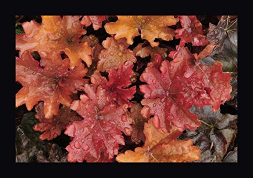 OR, Portland Foliage of peach flambe heuchera by Steve Terrill - 7