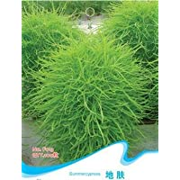Free Shippingchinese Medicine Series Air Purifying Indoor Oxygen For Medicinal Seed Broomsedge Mingmu
