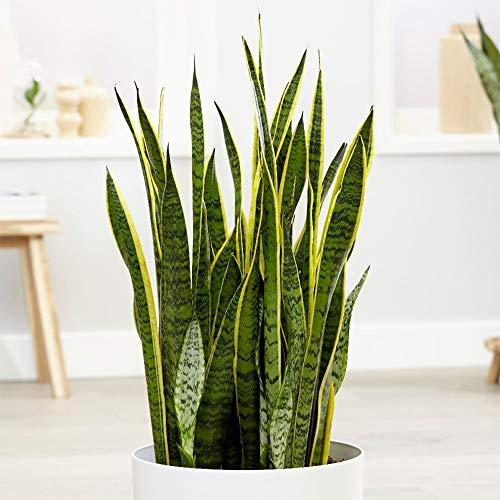 Hard-to-kill Sansevieria plant