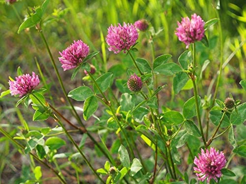 Wildlife Forage FAST FREE SHIPPING 5-LB MEDIUM RED CLOVER Deer Food Plot Seed