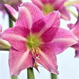 Exotic Amaryllis Bulb Purple Amaryllis Estella - 26/28cm Bulb | Ships from Easy to Grow TM