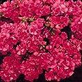 Phlox Seeds Promise Rose 50 Double Flower Phlox flower…