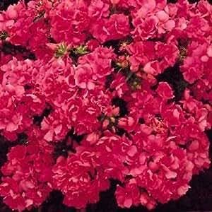 Phlox Seeds Promise Rose 50 Double Flower Phlox flower seeds Phlox drummon