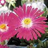 NEW! 50+ DELOSPERMA CARMINE ICE PLANT FLOWER SEEDS /PERENNIAL