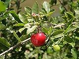 Barbados Cherry Florida Sweet Acerola - Malpighia glare LIVE PLANT