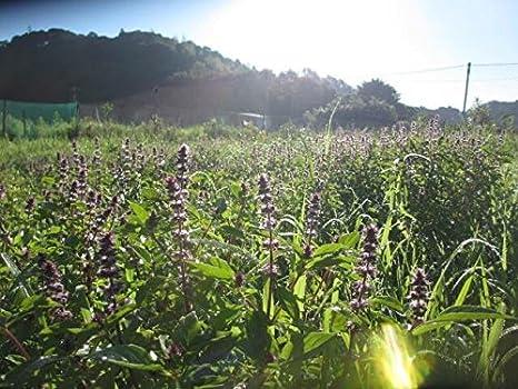 Comercial t? de hierbas albahaca morada hoja de t? 100g ...