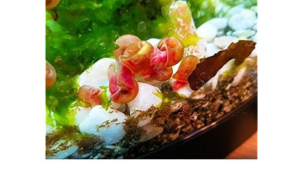 2pcs Acuario Agua Dulce De Caracol Caracol marrón - rojo (planorbis Rubrum): Amazon.es: Productos para mascotas