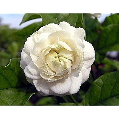 "Grand Duke of Tuscany - Arabian Jasmine Plant - Fragrant - 6"" Pot: Garden & Outdoor"
