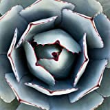 AGAVE PARRYI TRUNCATA rare succulent artichoke plant exotic garden seed 15 SEEDS