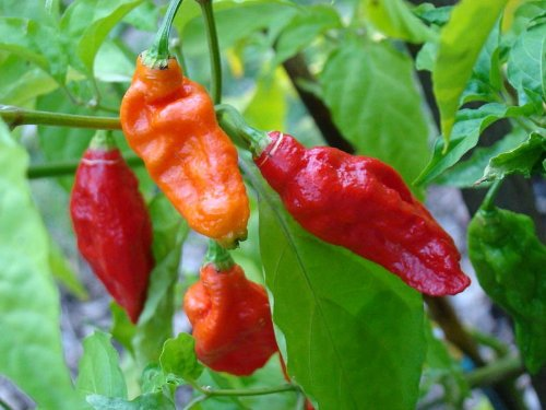 20 Seeds Pepper (20 GHOST PEPPER SEEDS - WORLDS HOTTEST Naga Bhut Jolokia Cobra Chili Vegetable *Comb S/H)