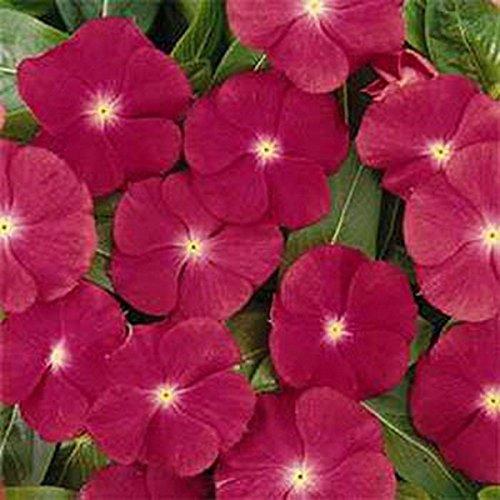 Best Summer Flower -Rose periwinkle