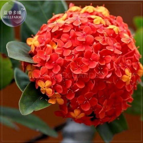 Amazon.com: Nueva raro Rojo Madre de hortensia semillas ...