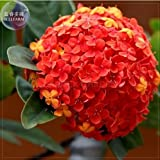 New Rare Red Hydrangea Mother Seeds, Professional Pack, 15+ Seeds