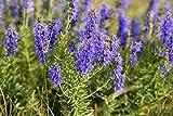 NIKITOVKASeeds - Hyssop - 500 Seeds - Organically Grown - NON GMO