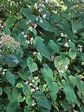 Perennial Farm Marketplace Begonia grandis 'Alba' (Hardy) Perennial, 1 Quart, White Flowers