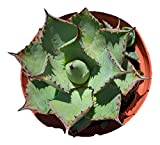 Agave Potatorum - 4 inch Live Plant