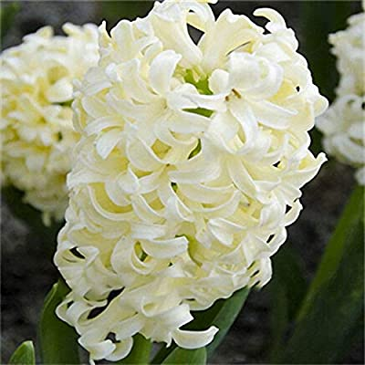 Hyacinth Flower Seeds Colorful Mixed Color Beautifying Garden Bonsai Potted Blooming Plant 100Pcs : Garden & Outdoor
