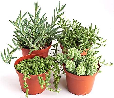 Amazon Com Shop Succulents Hanging Live Succulent Plants Hand