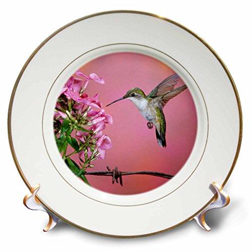 3dRose Danita Delimont - Hummingbird - Ruby-throated Hummingbird female at Garden Phlox - 8 inch Porcelain Plate (cp_250975_1)