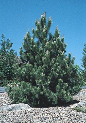 Pine Austrian Tree (15x Austrian Pine Tree Seeds (Pinus nigra))