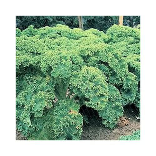 2500 VATES BLUE CURLED KALE / Dwarf Blue Curled Scotch Kale Brassica Oleracea Vegetable Seeds