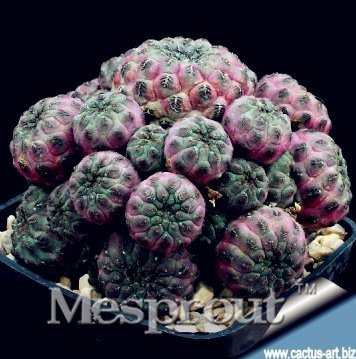 New Fresh Cactus Flowers Cactus plant Rare plant Foliage magical garden & home Semillas Flora 100+ Seeds