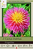 Fringed Star Semi-Cactus Dahlia 2 Root Clumps - #1 Size
