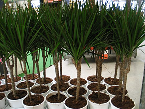 Dracaena marginata 85cm /- , Drachenbaum,Drachenlilie