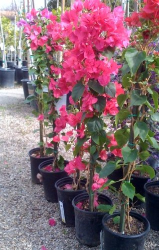 Bougainvillea Barbara Karst Vine -- 6 by 6 Inch Container