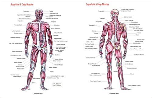 Superficial and Deep Muscles Chart: Amazon.co.uk: Flash Anatomy ...