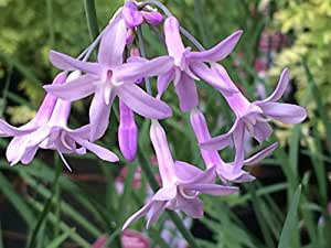 5 Starter Plants of Tulbaghia Violacea Silver Lace